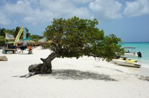 A trademark Divi tree on Eagle Beach