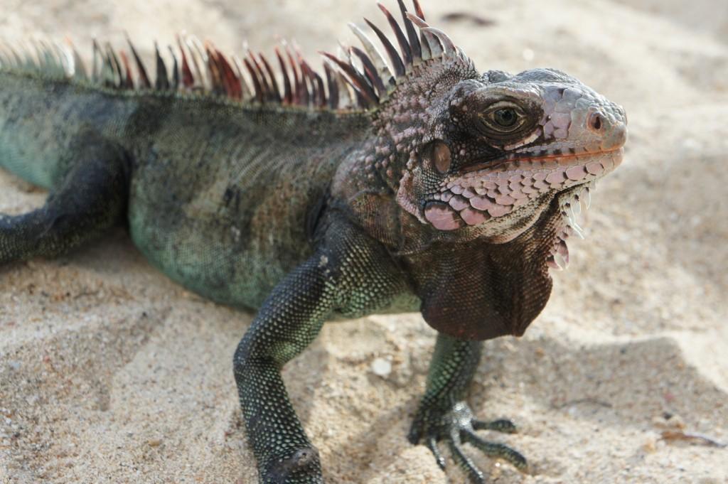Iguana in St Thomas