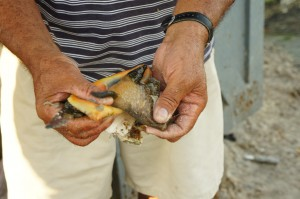Fresh conch in Grand Bahama