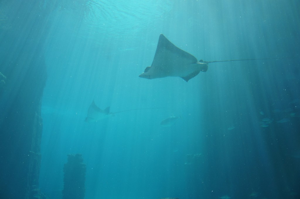 Stingray at Atlantis