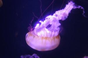Irridescent jellyfish at Atlants Bahamas