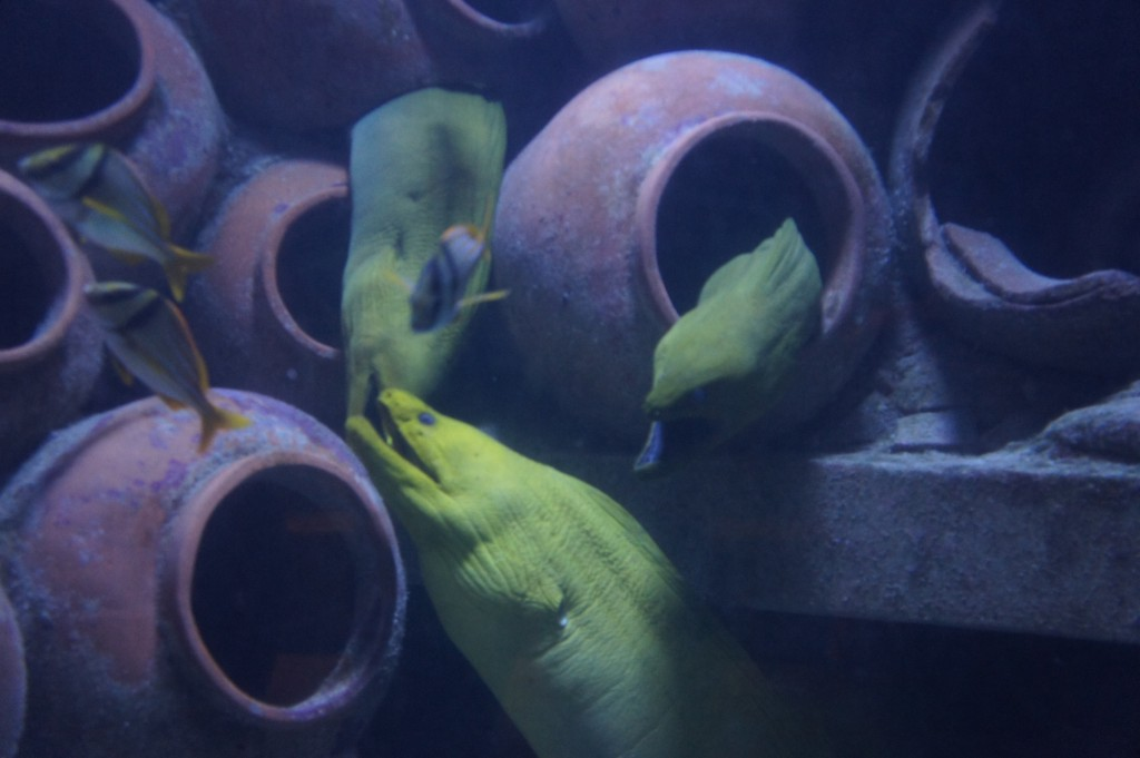 Eels on display at Atlantis Bahamas