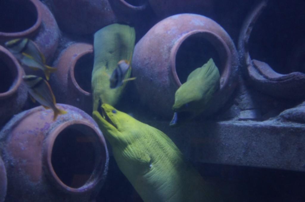 Eels on display at Atlantis Bahamas