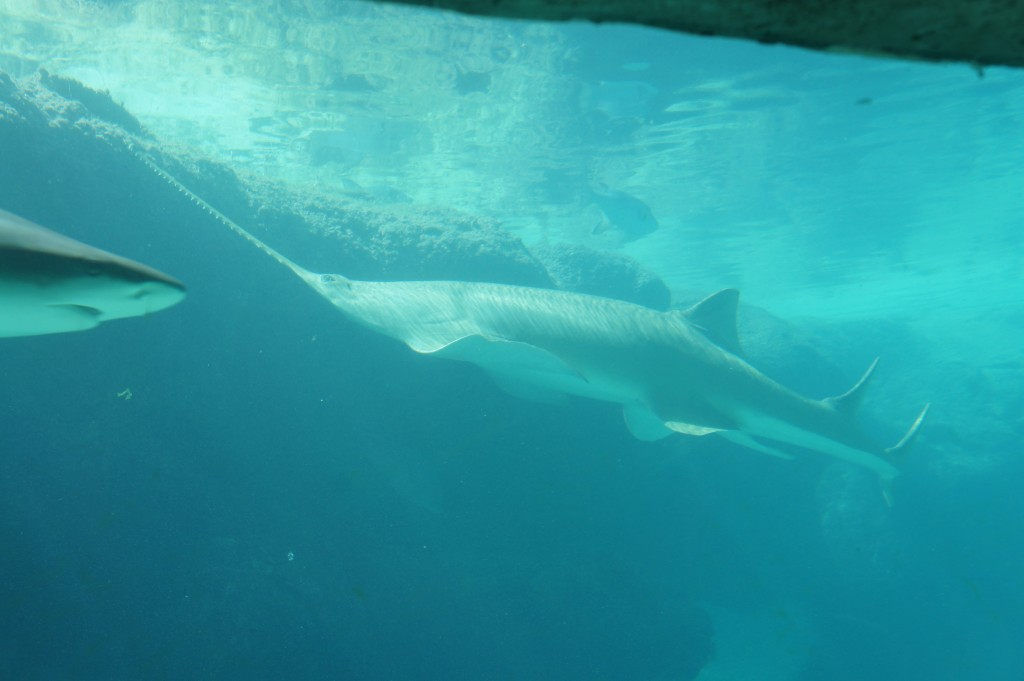 Shark at Atlantis