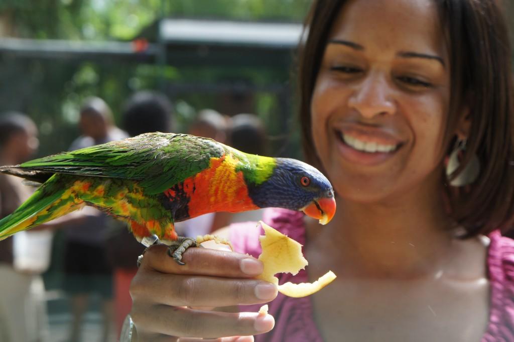 Lory Parrot Feeding at Ardastra Gardens in Nassau, Bahamas