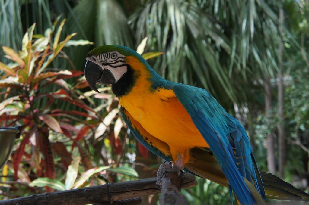 Parrot at Ardastra Gardens in Nassau, Bahamas