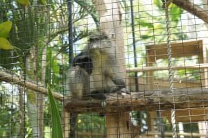 Monkey at Ardstra Gardens & Zoo in Nassau, Bahamas