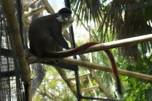 Monkey at Ardastra Garens & Zoo in Nassau, Bahamas